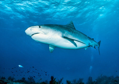 Lemon shark or sandtiger shark