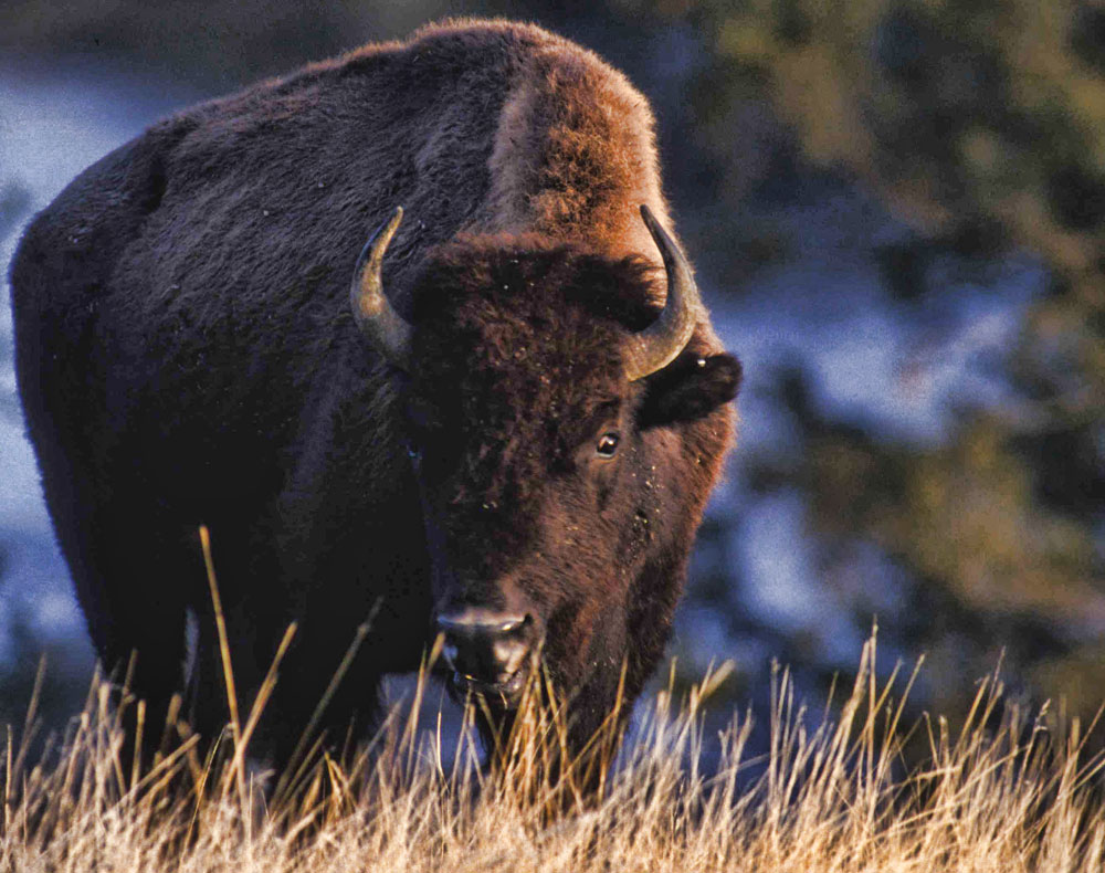 the dangers of extinction of the north american bison / continental divide  conserve this special part of the north american continent  the impacts of an impenetrable border wall was the american bison.
