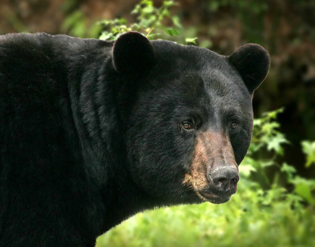 Black Bear attacks | Planet Deadly - photo#12