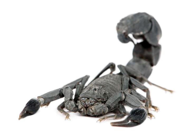 Arabian fattail scorpion (Androctonus crassicauda)