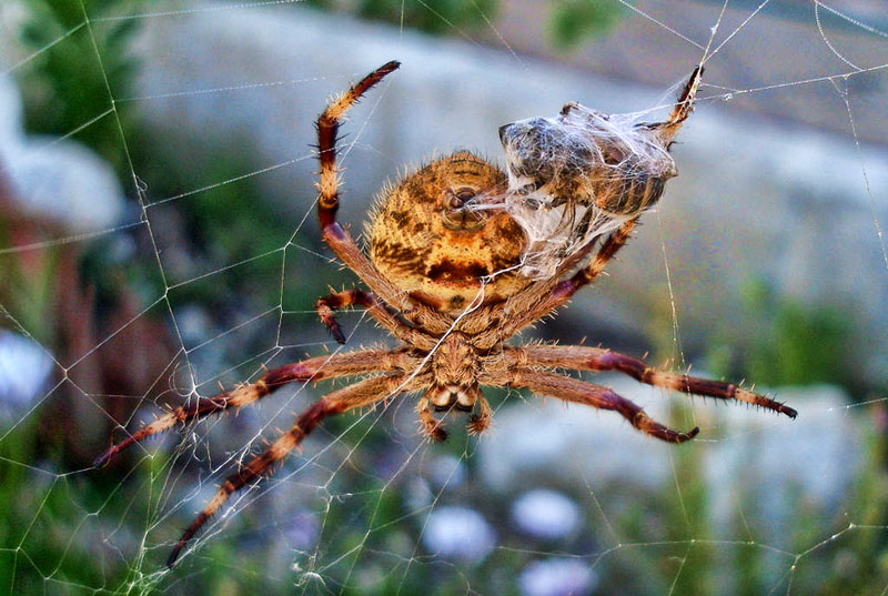 Common garden orb weaver spider