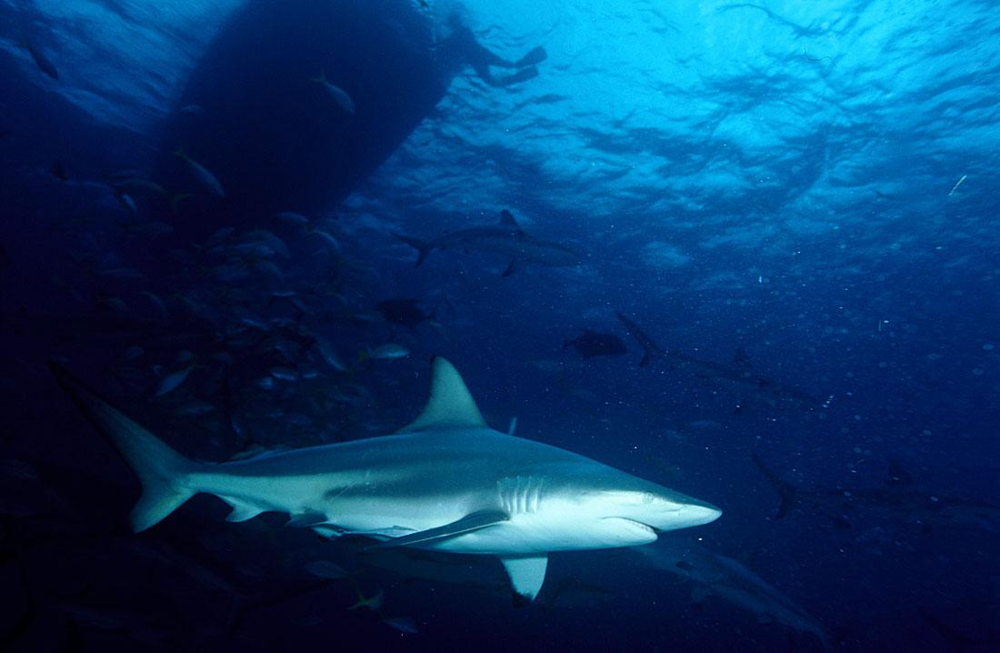 most dangerous sharks wwwpixsharkcom images