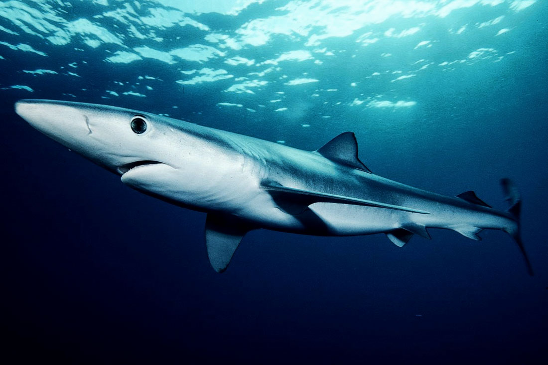 10 Deadliest Sharks | Planet Deadly List