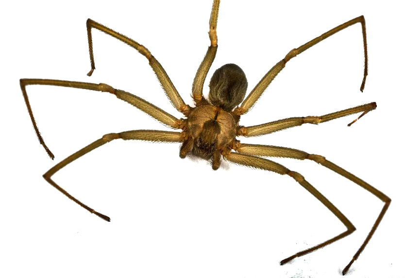 Can Brown Recluse Spider Hurt Cats