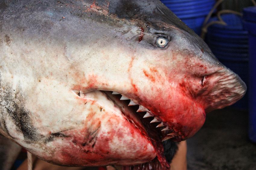 Dead bull shark