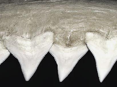 Bull Shark Facts | Planet Deadly