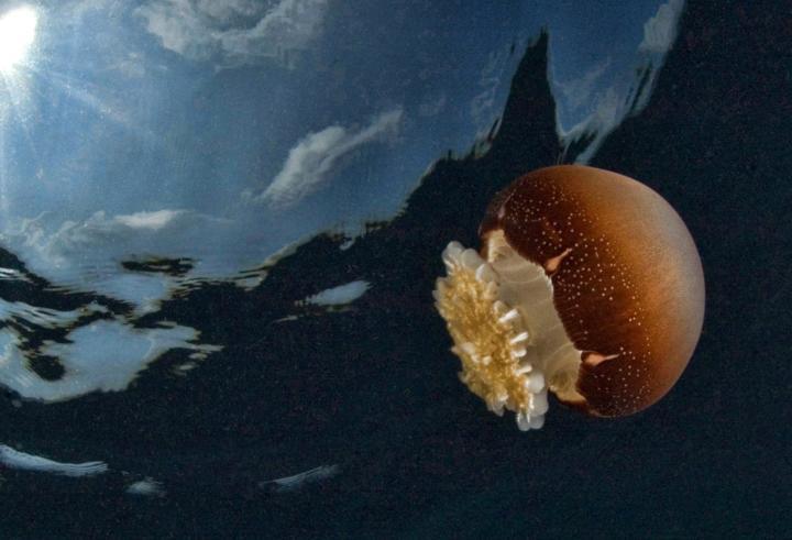 Cannonball jellyfish