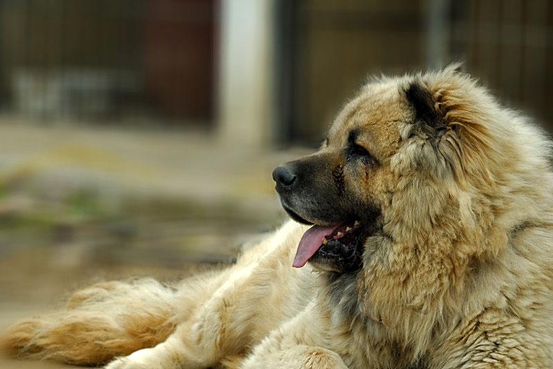 Caucasian Sheperd Dog