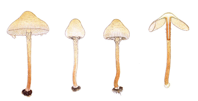 Deadly dapperling - Lepiota