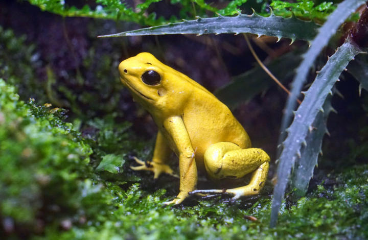 Golden dart frog