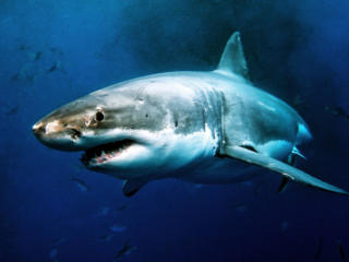 Great White Shark - Carcharodon carcharias