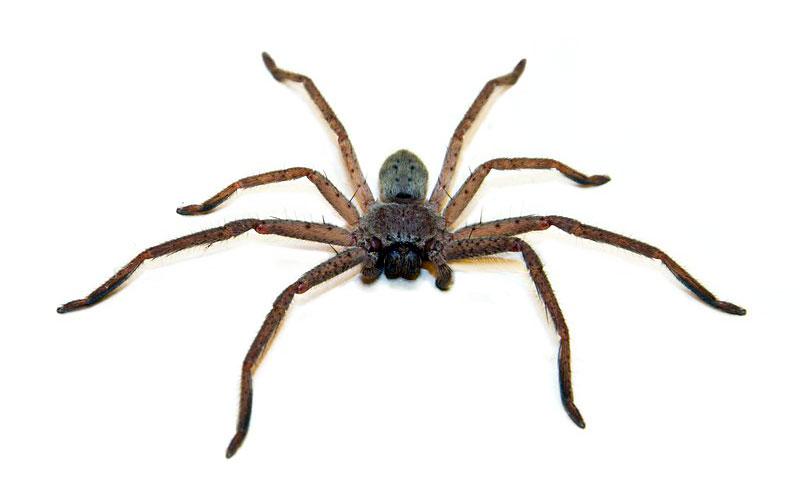Redback spider kills Brown snake Huntsman-spider