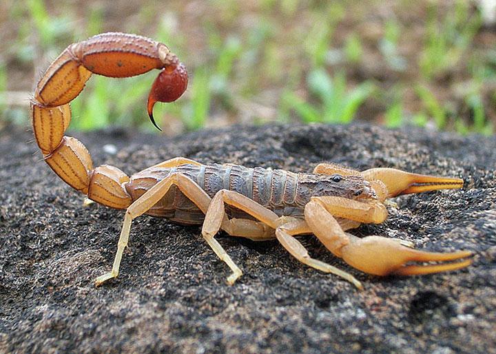 The World's Most Dangerous Scorpions