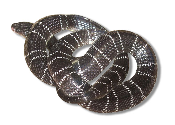 Common / Indian Krait