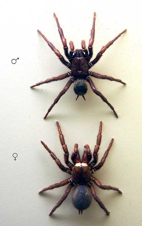Male & female sydney funnel web