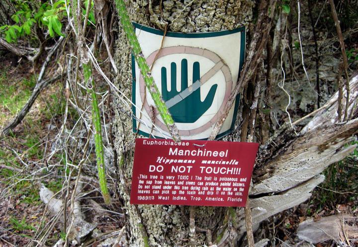 Manchineel Tree (Hippomane mancinella) - World's most poisonous tree