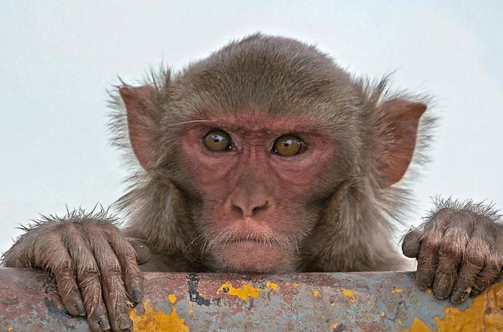 Indian monkey - Rhesus Macaque