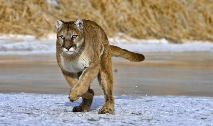 Mountain Lion / Puma