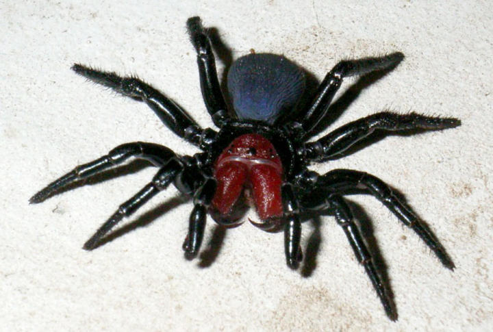 10 most dangerous spiders in australia planet deadly list