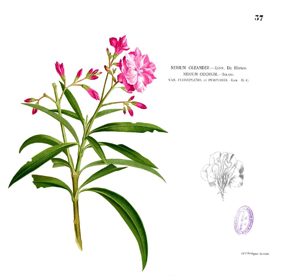 Nerium Oleander Poisonous Plants