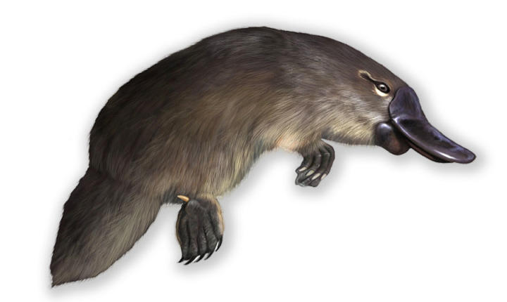 The venomous duck-billed platypus