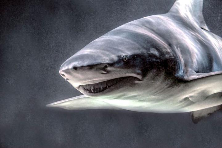sand tiger shark attacks on humans