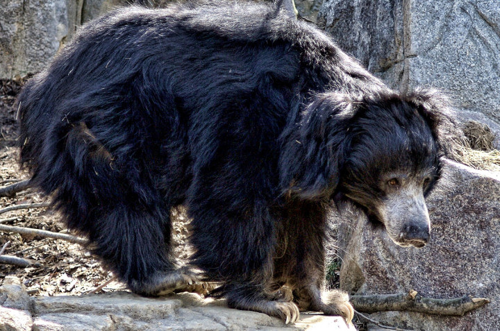 Sloth bear (Ursus ursinus)