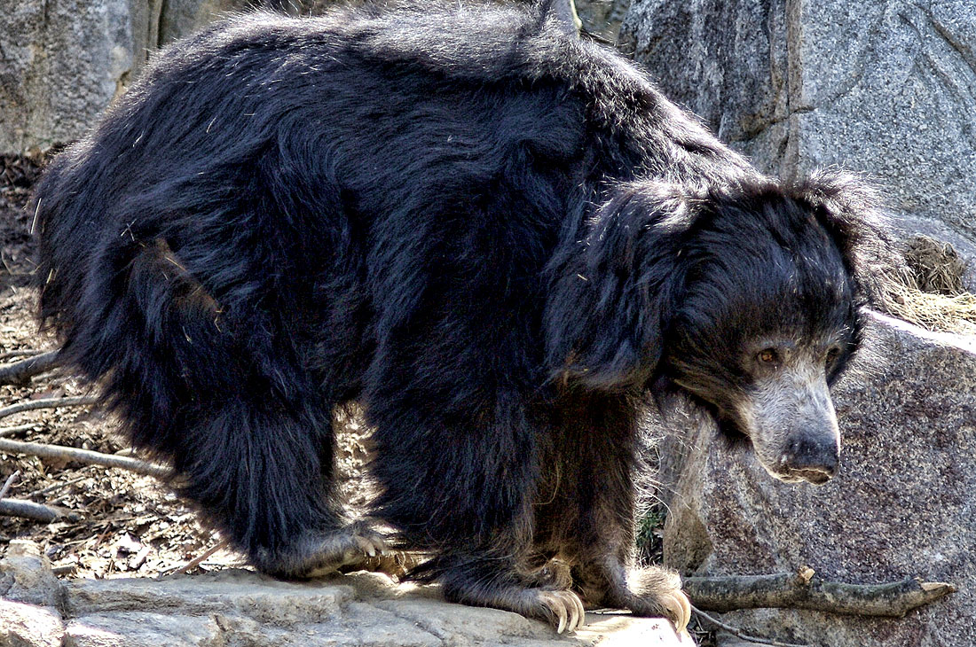 10 deadliest man eating animals the sloth bear of mysore publicscrutiny Choice Image