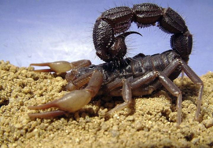 LIVE RARE  Arizona Scorpion Medium To Large Size