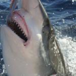 Tiger Shark fishing