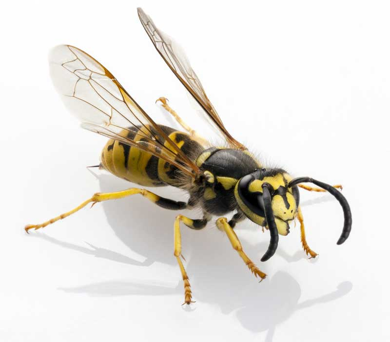 Wasp / Yellowjacket
