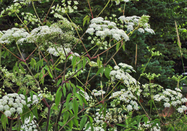 Water hemlock (cicuta maculata) - North America's most poisonous plant