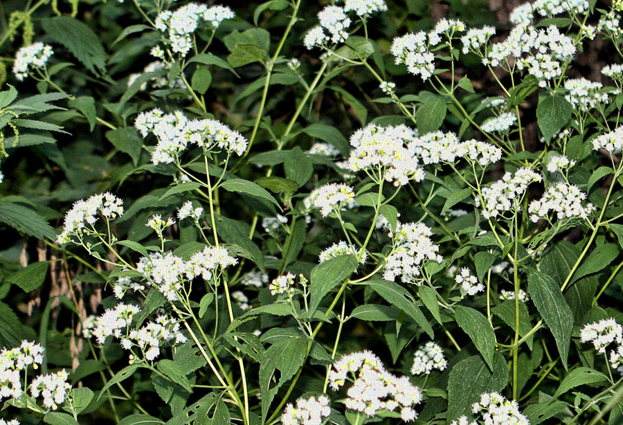10 most poisonous plants in the world planet deadly white snakeroot ageratina altissima mightylinksfo